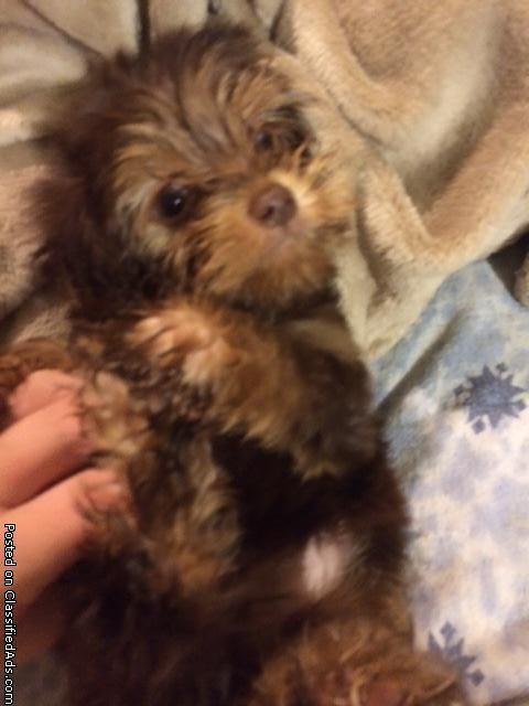 Beautiful Yorkiepoo puppies