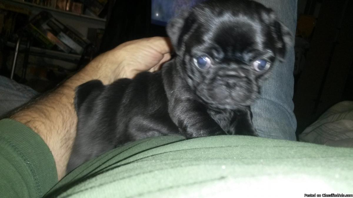 Pug for Christmas only 2 black males left
