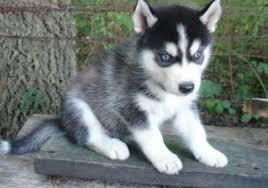 clean husky with blue eyes need wonderful homes