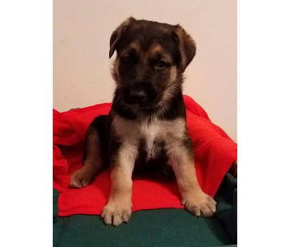 Male Black & Tan German Shepherd Puppy, Straight Back, King size, Working Lines