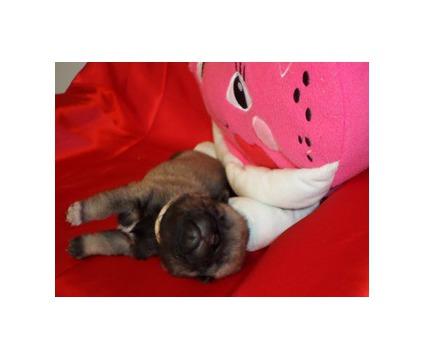 Sweet AKC Fawn Male PUG Puppy Ready Feb 4th!- Tan Collar
