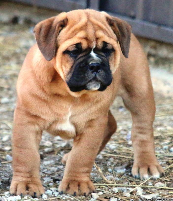 Olde English Bulldogge pup..