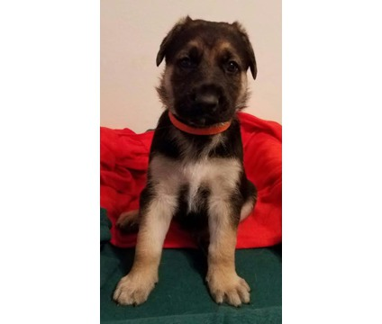 Male Black & Tan German Shepherd Puppy, Straight Back, King size, Working Lines