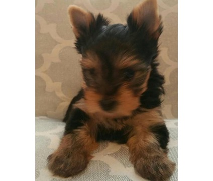 Yorkshire Terrier Male Yorkie Puppy