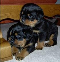 Adorable Rottweiler puppies for Sale 12 weeks old