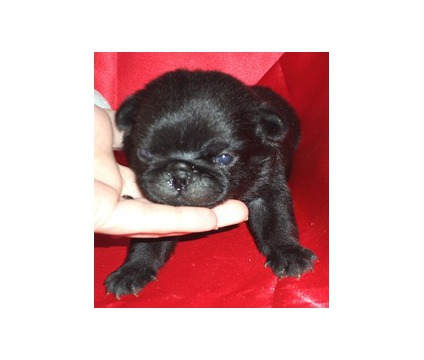Sweet Playful - AKC Black Male PUG Puppy - Ready Feb 4th
