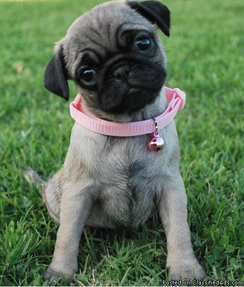 Little Clowns of Pug-AKC REG M/F Available