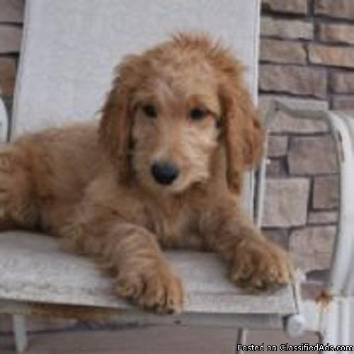 Timid Goldendoodle