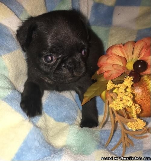 Pug Puppies Available Ready now..