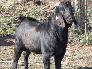 Free Goat. Chivo gratis