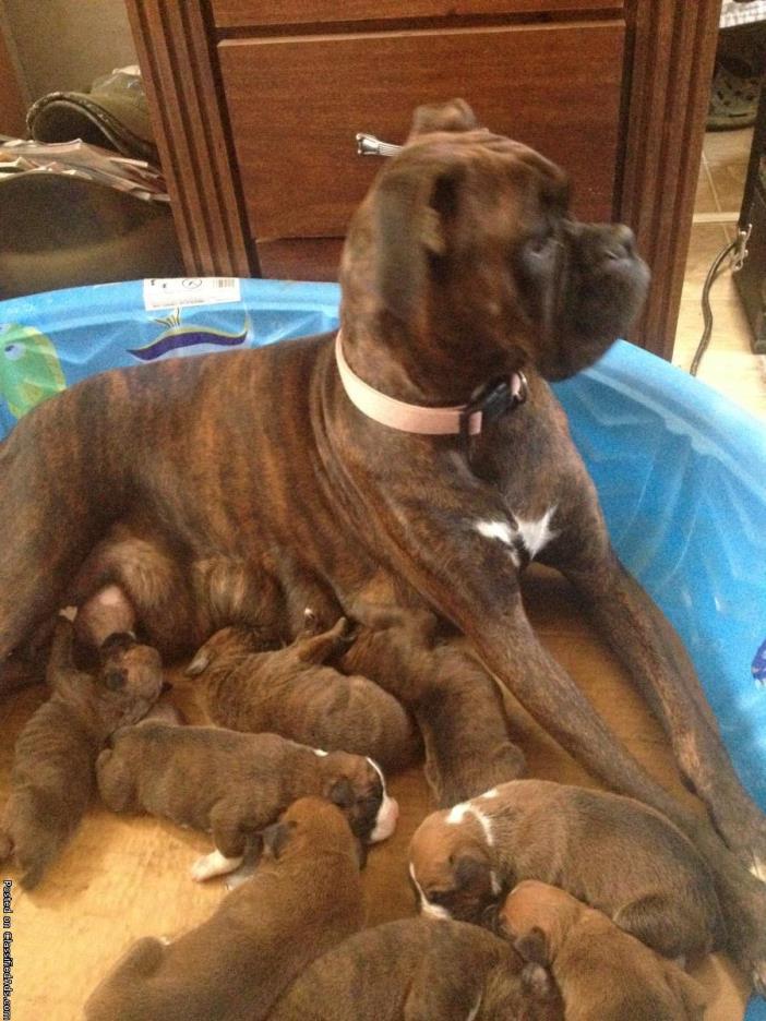 AKC Boxer Puppies