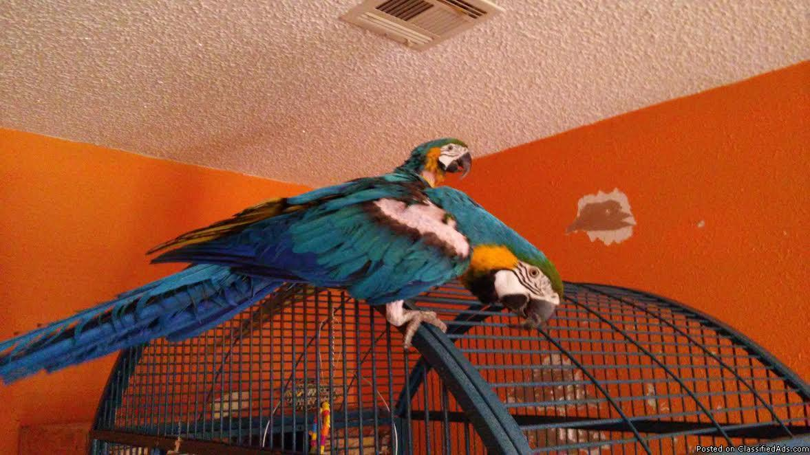 Blue & Gold Macaw Ready For Sale