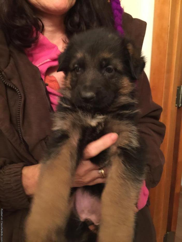 Superb Import gsd puppies