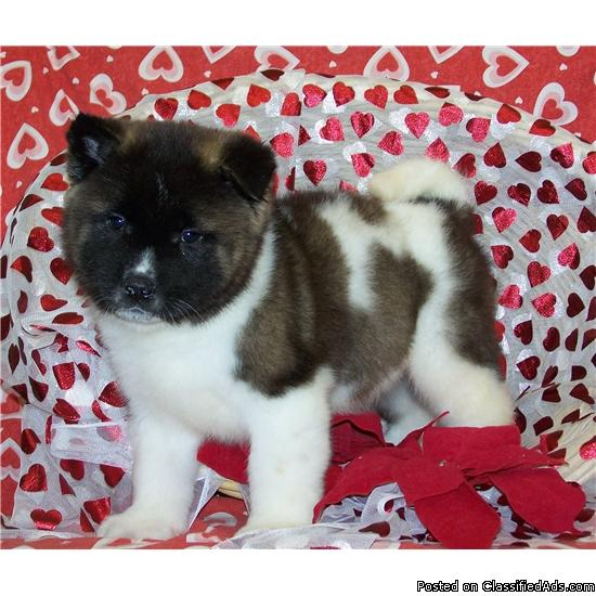 Rosy is a male Akita puppy