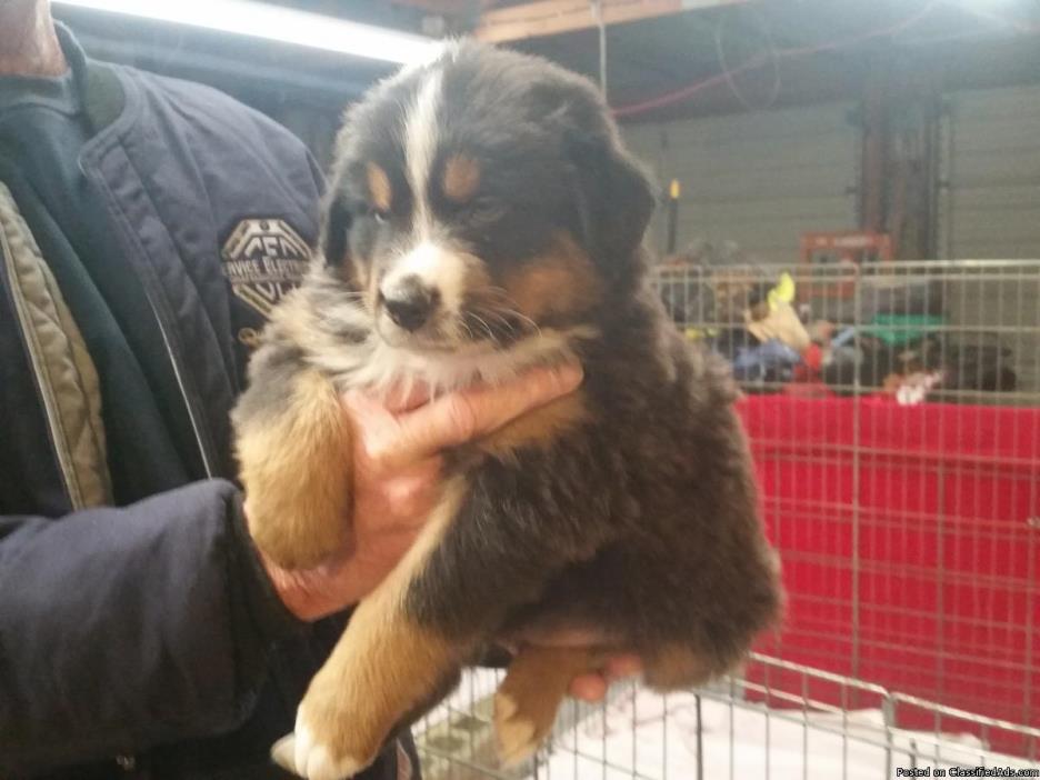 Registered Australian Shepherd Pups