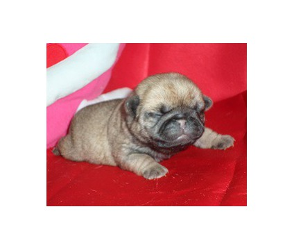 AKC Fawn Female PUG Puppy - GCH & CH Lines - Ready for Valentines