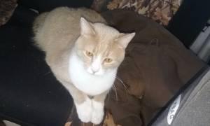 Male cat fixed (lynchburg)