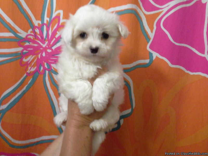 Maltese puppy ready for adoption.