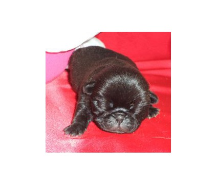 Valentines AKC Black Male PUG Puppy CH Lines