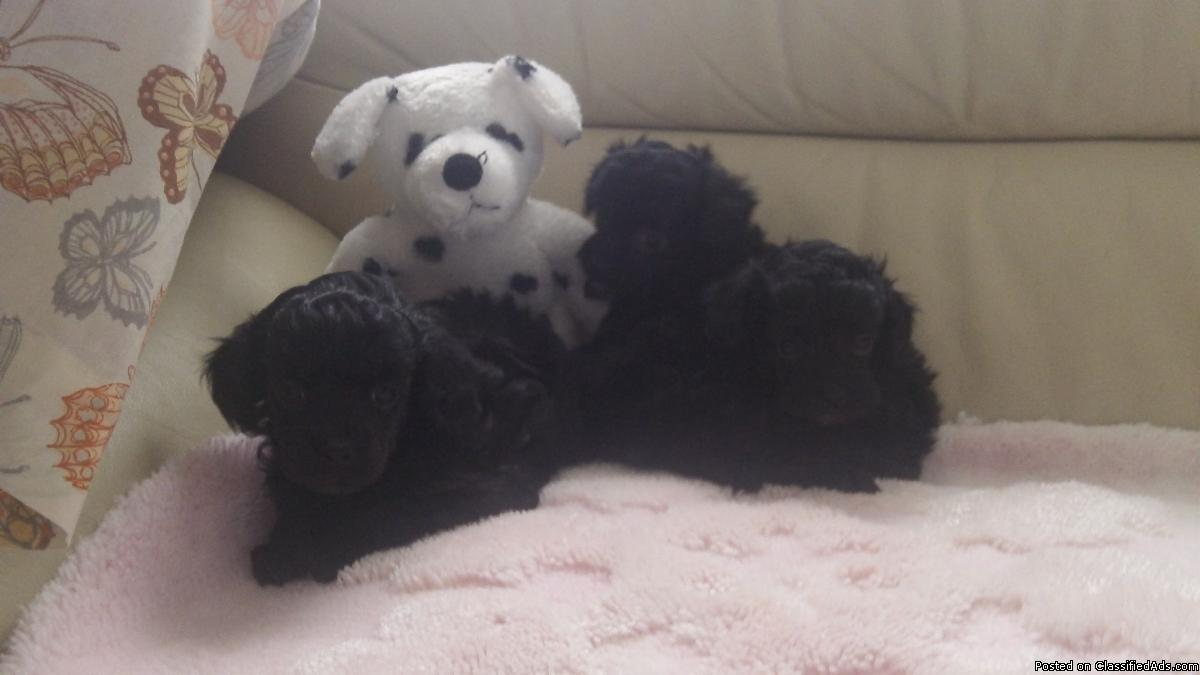 TOY CHIPOO PUPS FOR SALE. chihuahua/poodle