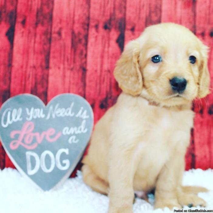 ASWEDFG Understanding U-Xmas Akc Reg Golden Retriever Puppies