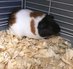 Adopt 34303299 a Guinea Pig