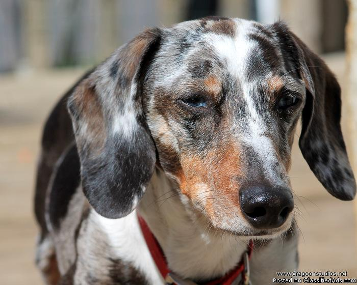 Wiener dogs for adoption, Dachshund Rescue NW