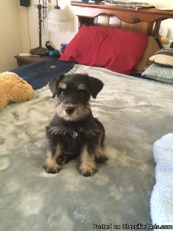 AKC Miniature Schnauzer puppies for sal