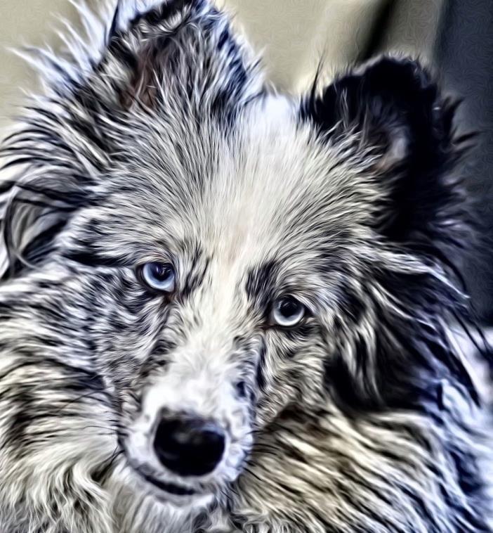 DOG PHOTOGRAPHIC IMAGE SHELTIE-PHOTO PAINTED