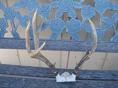 CRAZY FREAK 5x3 MULE DEER RACK Antlers whitetail mount taxidermy elk cape moose