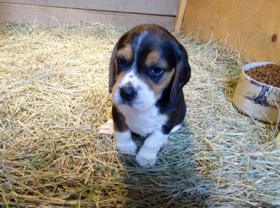 AKC Beagle pups
