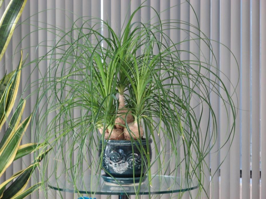 Ponytail Palm Plant w/ Ceramic Pot