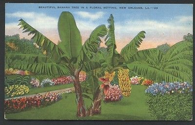 Banana Tree in New Orleans Louisiana Vintage Postcard