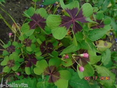 Oxalis- Oxalis tetraphylla, shamrock in pot #1