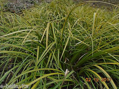 3 r green/yellow Sweet Flag Grass Acorus Calamus, wet areas, evergreen perennial