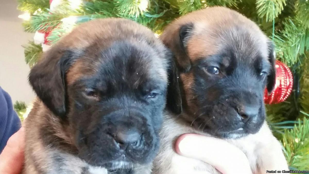 3 LEFT! English Mastiff AKC Female Brindle Puppies