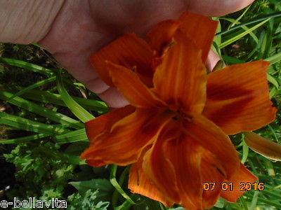 1 KWANSO Double flowers orange DayLily,perennial