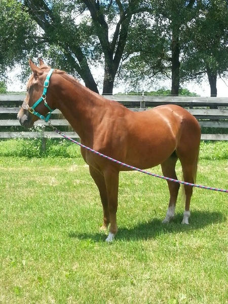 For sale 4800 OBO registered barrel gelding