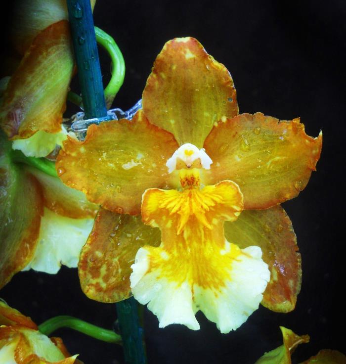 Wilsonaria Hilda Plumtree 'Purple Wings', orchid plant
