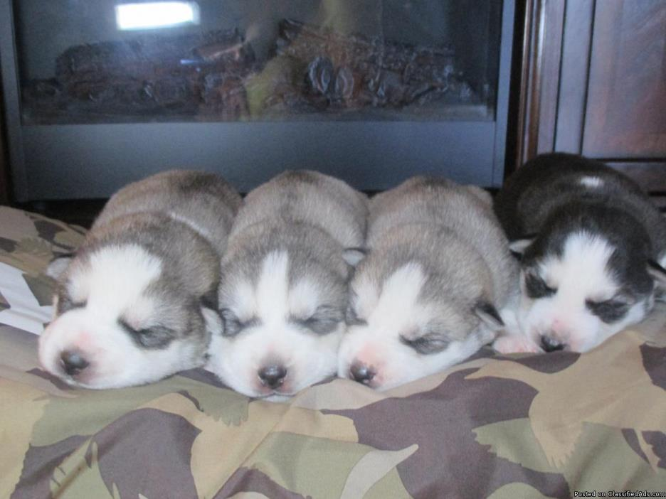 akc  reg   husky  pups