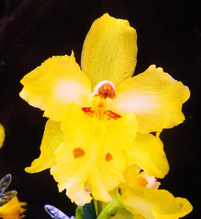 Odtna Yellow Parade 'Alpine', orchid plant