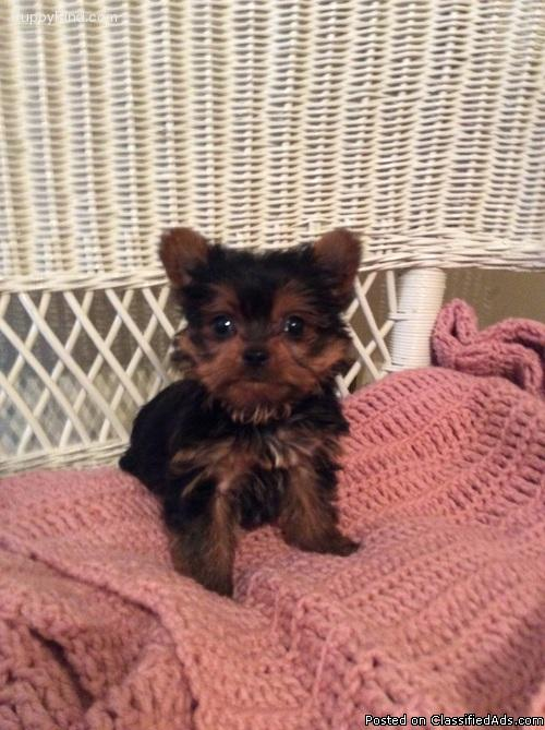 11 Weeks old Female Yorkie ready for the best home