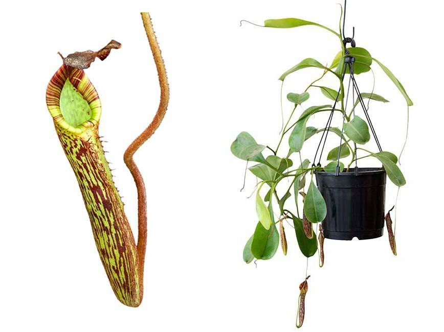 Carnivorous Nepenthes Highland Species Fusca Flaired Potted Plant Scarce W11