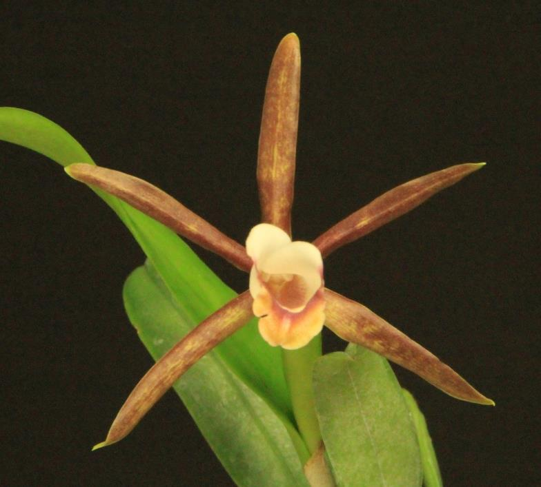 Orchid species Cattleya araguaiensis
