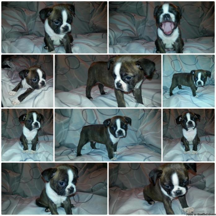 Ckc Boston terrier puppies
