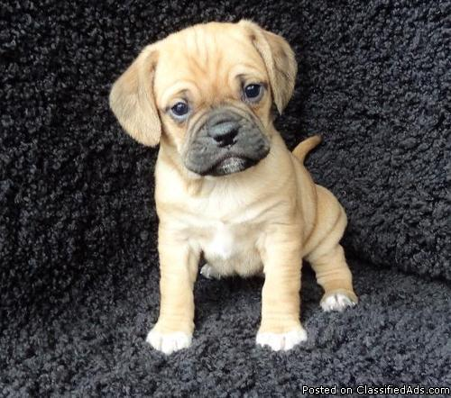 Enhanced Puggle Puppies For Sale