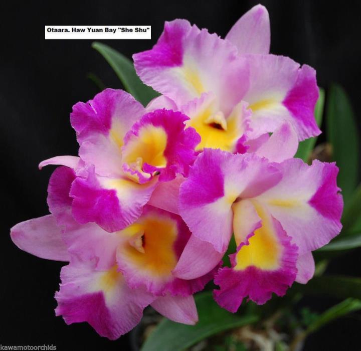 Otaara Hwa Yuan Bay 'She Shu' AM/OSROC, orchid plant