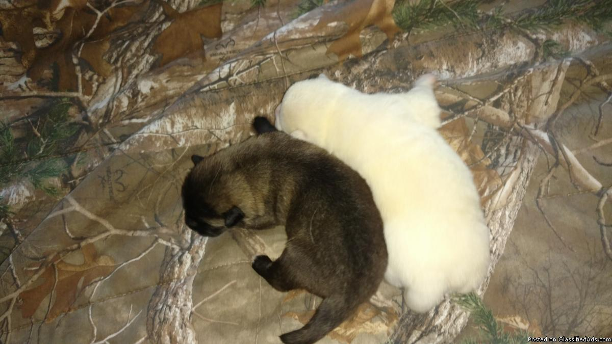 AKC American Akita puppies