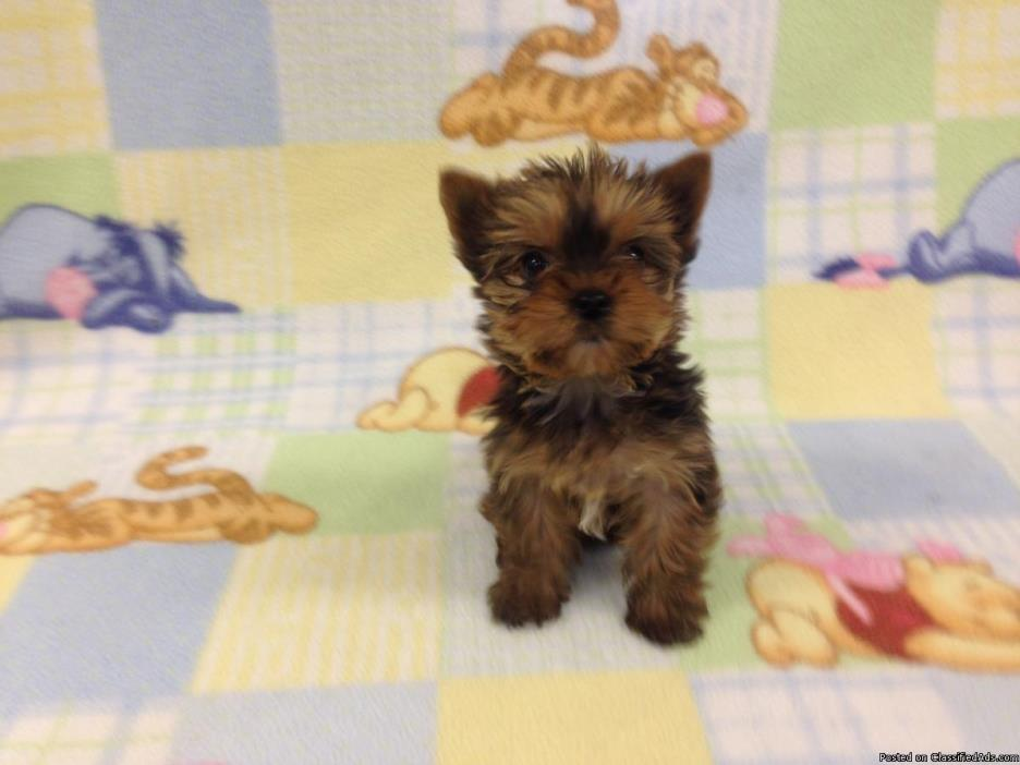 Female Gold Yorkie Puppy