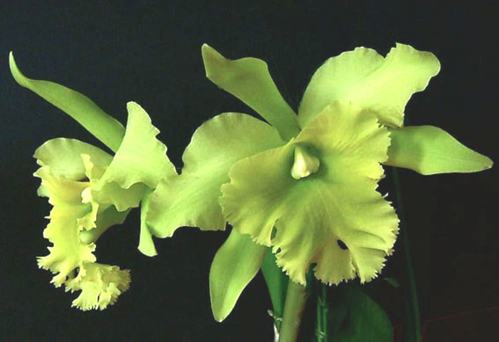 Blc Ports of Paradise 'Emerald Isle' FCC/AOS, orchid plant